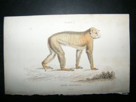 Jardine C1835 Antique Hand Col Print. The Barbary Ape